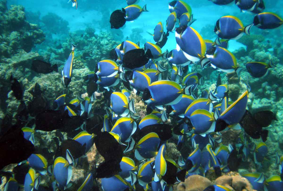 a school of blue fish