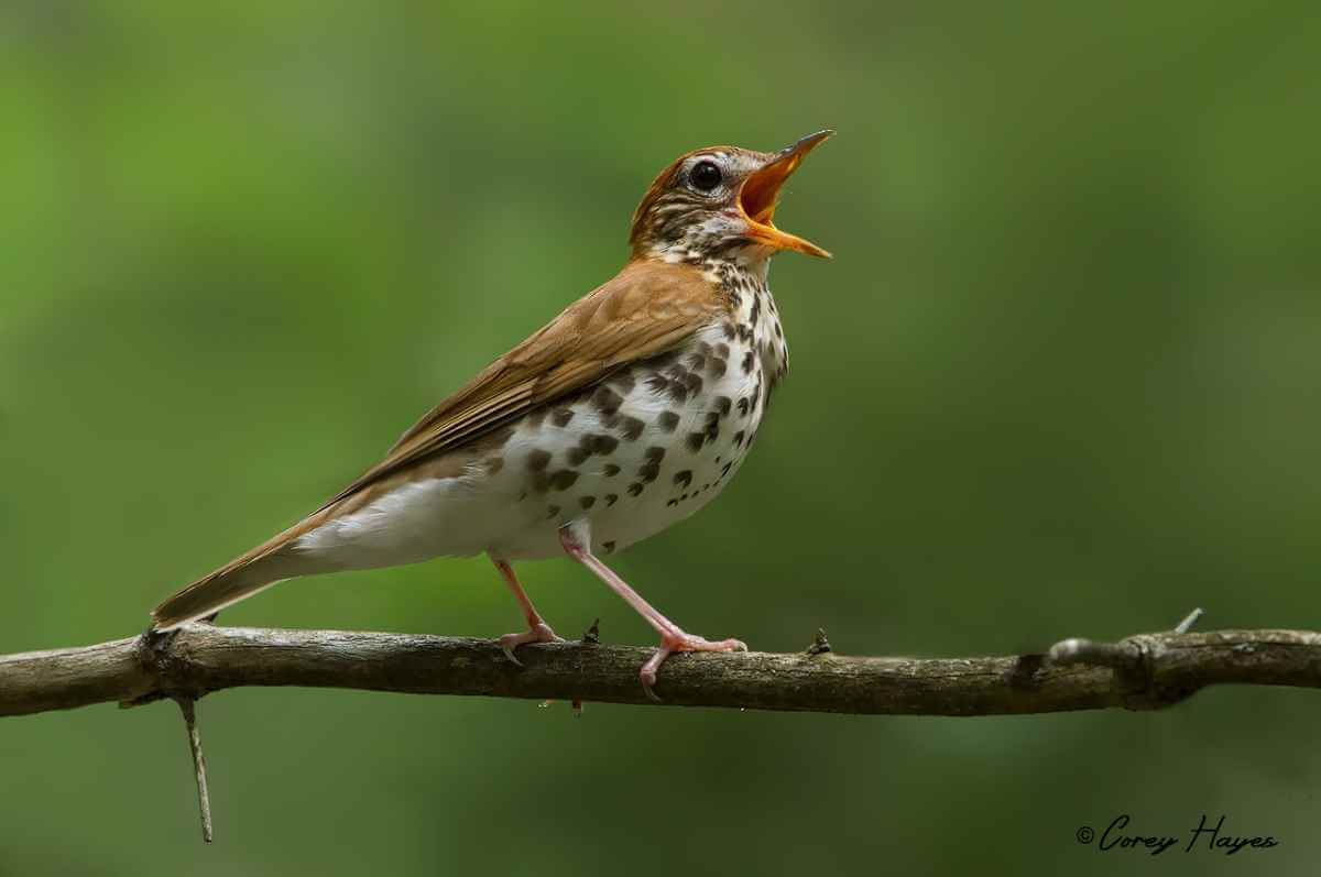 Wood thrush bird singing
