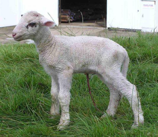 Baby Lamb Umbilical Cord