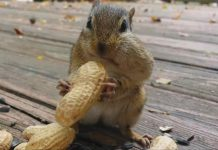 squirrel hiccups