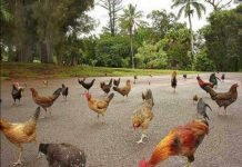 Feral chickens on the road