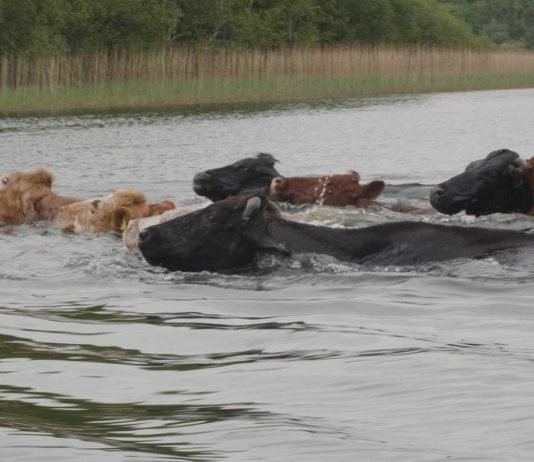 Cows swimming to greener pastures