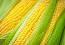 What is the difference between maize and corn?