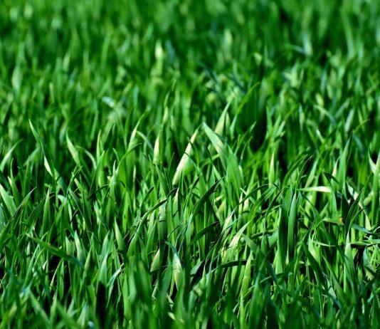 Green lawn grass